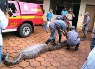 Anaconda engole senadora no Amazonas