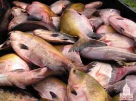 Dicas pra Pescar Tambaqui