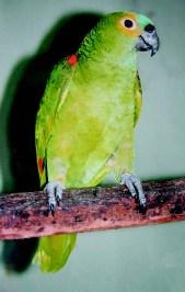 Horóscopo indígena brasileiro - Papagaio