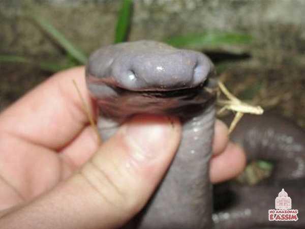 Bichos do Brasil: Atretochoana eiselti