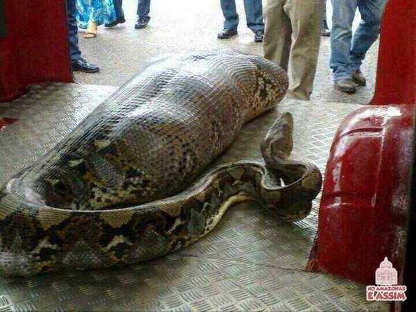 cobra-grande-engole-invasor