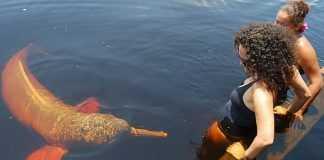 Boto-vermelho em Novo Airão, no interior do Amazonas. Foto: Leo Albuquerque/ICMBio