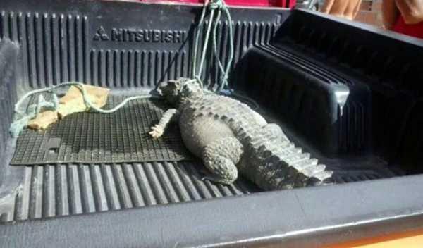 O animal, que aparentemente está bem, foi capturado pela manhã, pelos moradores. Foto: Divulgação