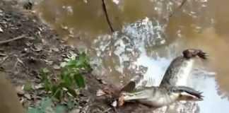 Aligator kontra węgorz