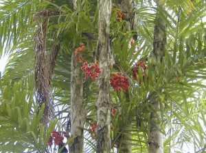 Pupunheira, a árvore da Pupunha