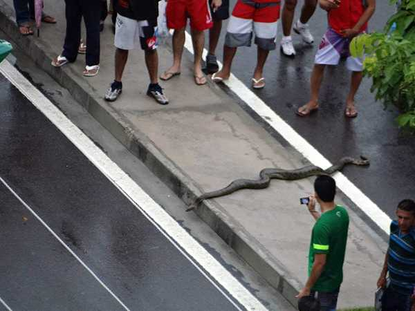 Anaconda no centro de Manaus