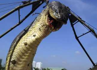 A maior cobra do mundo já capturada pelo Exército