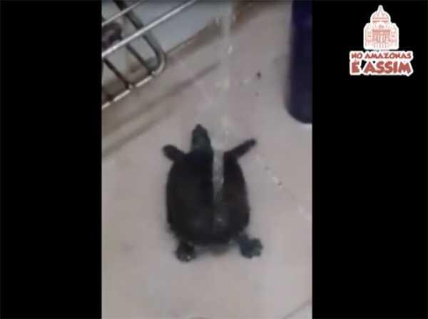 Tartaruga dançando ao som do Carrapicho
