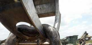 Suposta sucuri gigante capturada em um trecho do Gasoduto Urucu-Coari-Manaus