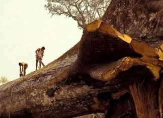 """Árvore mais antiga do mundo é derrubada """"acidentalmente"""" na Amazônia"""