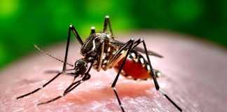 Aedes Albopictos transmissor da Chikungunya