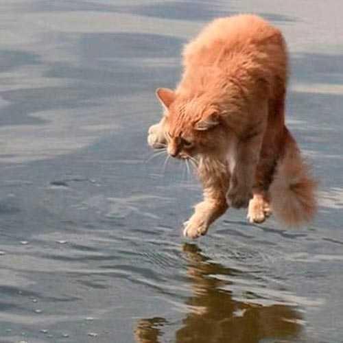Saiba porque a maioria dos gatos odeia água