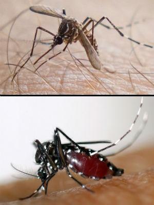 Vírus chikungunya é transmitido por mosquitos Aedes aegypty (no alto) e Aedes albopictus (Foto: Douglas Aby Saber/Fotoarena-AFP Photo/EID Mediterranee)