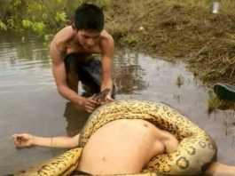 Anaconda ataca na Comunidade Terra Preta do Limão - Barreirinha, AM