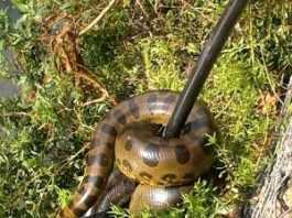 Cobra foi localizada por moradores (Foto: Batalhão Ambiental)