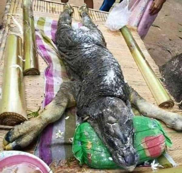 Animal quadrúpede, com rabo, escamas e cabeça de jacaré assusta população