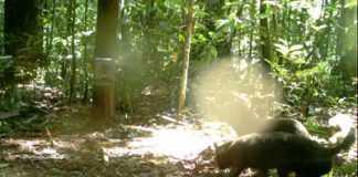 Mamirauá divulga registros de cachorro selvagem raro encontrado na Amazônia
