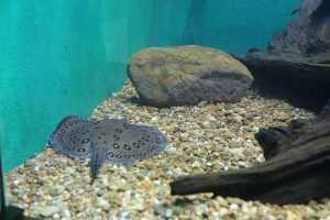 Arraia entre os peixes exótico