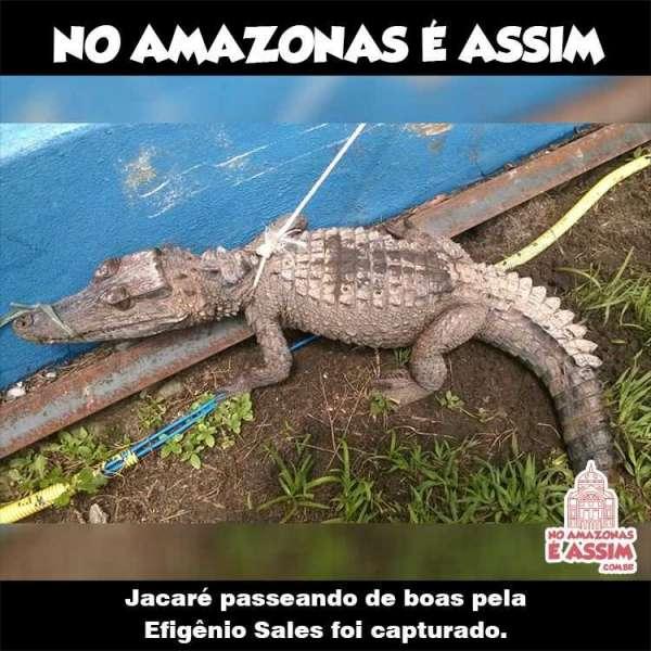 Jacaré é capturado ao atravessar avenida em Manaus