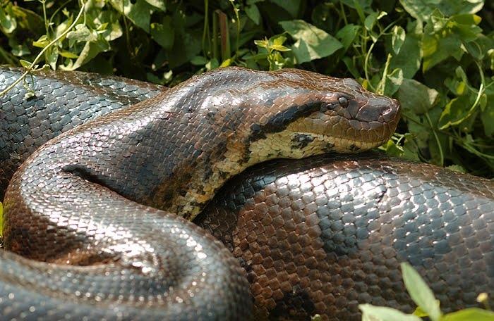Mitos e Verdades sobre a Cobra Grande ou Anaconda