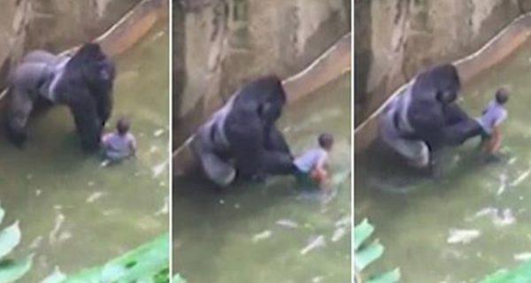 Morte de gorila em zoológico gera polêmica e comoção nas redes sociais