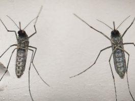 Chikungunya desafia ciência e mata mais que dengue e zika