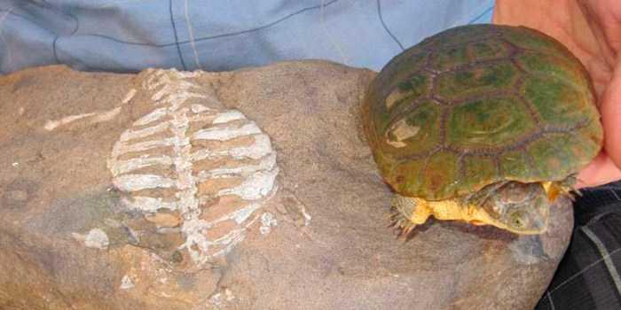 Pesquisadores descobriram a verdadeira função do casco das tartarugas
