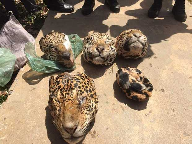Caça ilegal: foram encontradas cabeças de cinco onças pintadas e uma de onça Suçuarana (Foto: Ascom/PC)