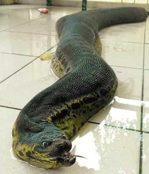 As serpente tromba de elefante tem pele frouxa e por isso parece ser maior que as cobras que normalmente vimos por aí.