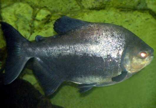 O peixe de água doce chamado Pirapitinga é conhecido popularmente como Pacu Negro e Caranha