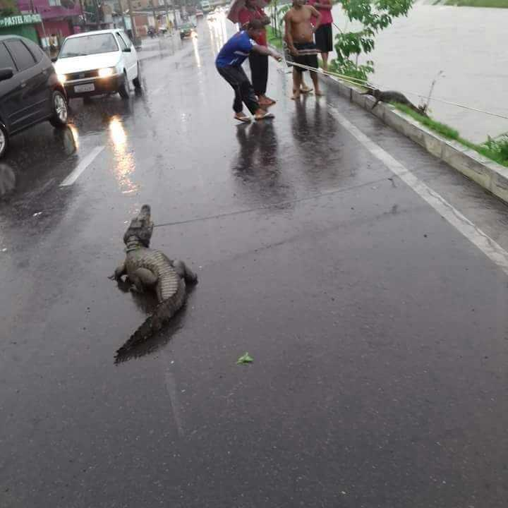 Jacarés emergem e causam fuzuê após temporal em Manaus / Foto : Divulgação