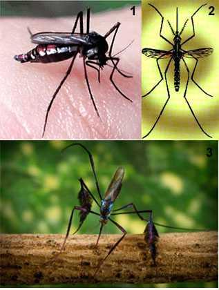 Figuras 1 e 2. Mosquitos do gênero Haemagogus. Figura 3. Mosquito do gênero Sabethes- Imagem: Fiocruz