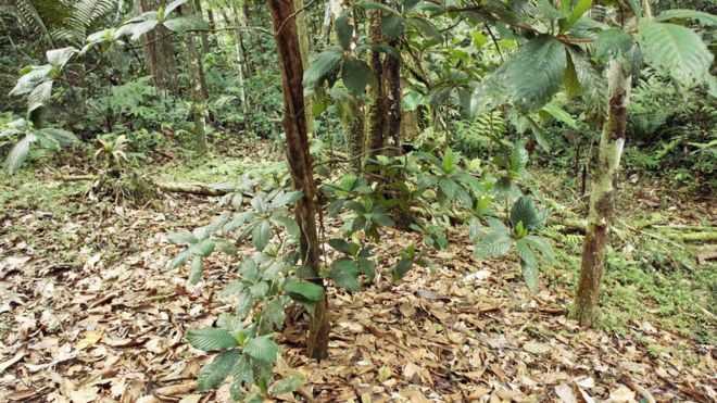 Diante da diversidade da mata fechada, você se depara de repente com um espaço aberto, onde há apenas um tipo de árvore. Imagem - SCIENCE PHOTO LIBRARY