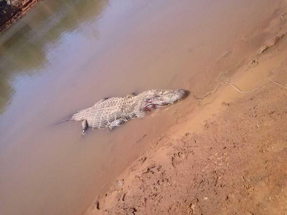 Jacaré foi morto por populares; dentro do animal foram encontrado restos mortais - Imagem: Divulgação