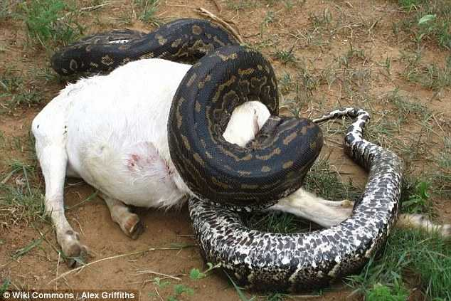 Houve alguns relatos de pythons de rock africano, que é a maior cobra do continente e uma das maiores do mundo, crescendo até 6m de comprimento