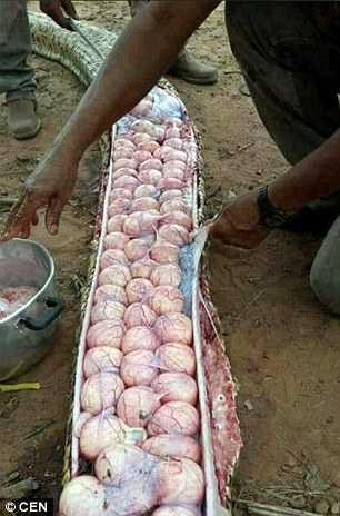 Dúzias de ovos de uma píton-africana / Foto : Divulgação