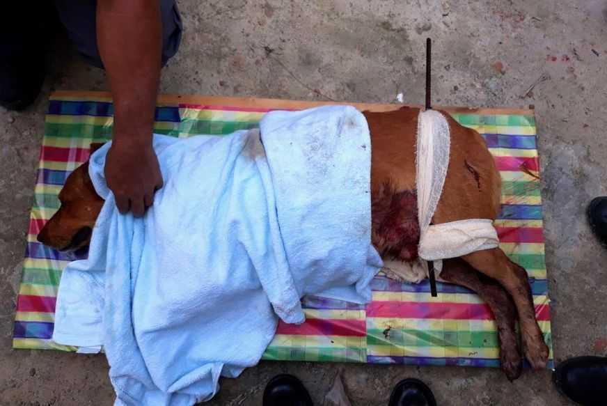 Cachorro morre após ter corpo atravessado por vara de ferro em Manaus - Imagem: Divulgação