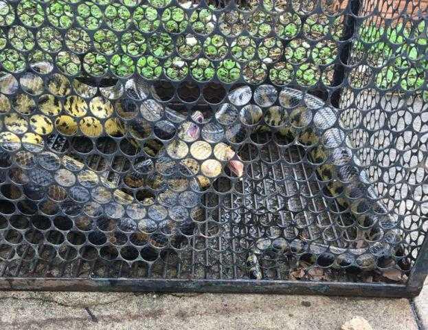 Sucuri expele galinhas para se defender durante captura / Foto : Divulgação