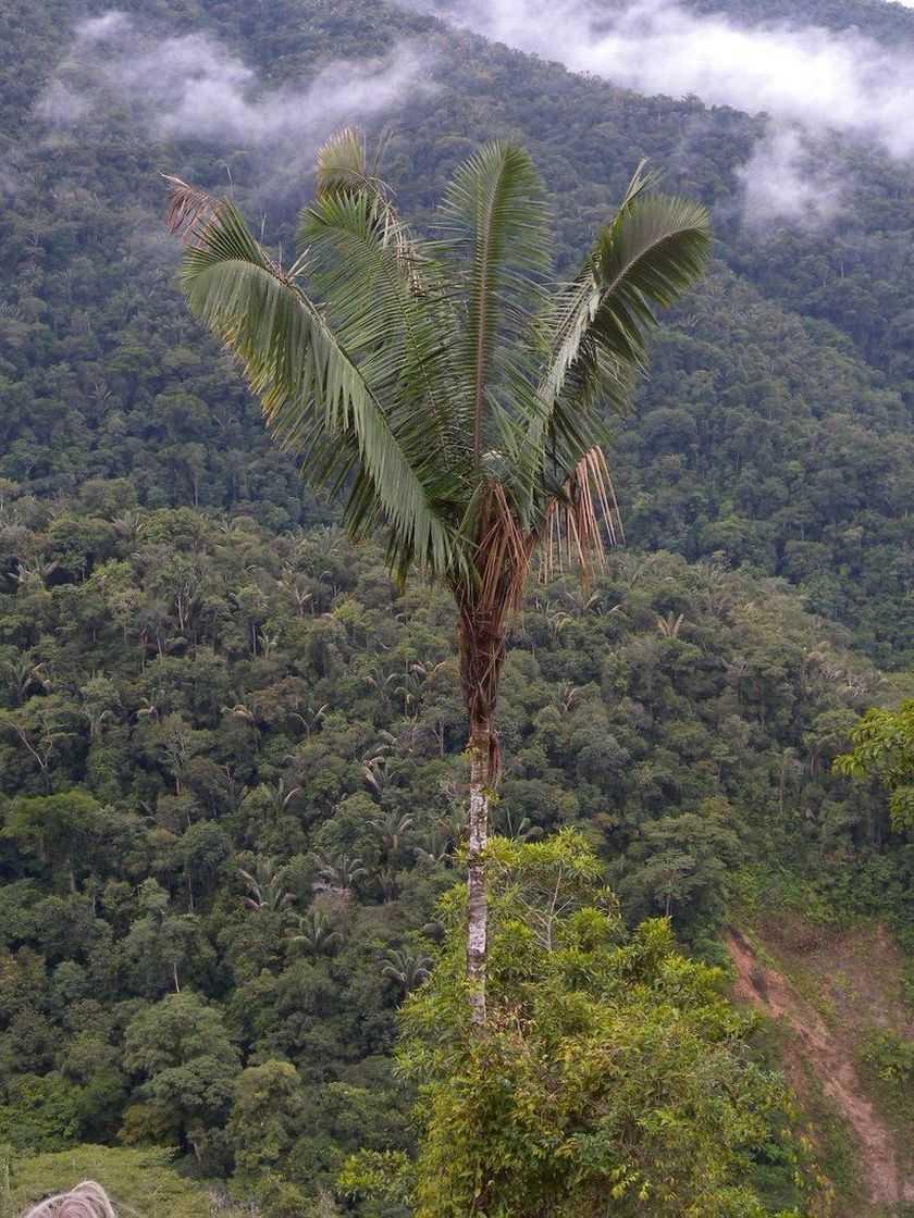 Arvore Palmeira Patuá ( Oenocarpus bataua). AM.