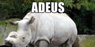 O Rinoceronte Branco do Norte foi declarado oficialmente extinto / Foto : Divulgação