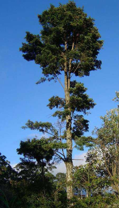 Árvore de Catuaba / Divulgação