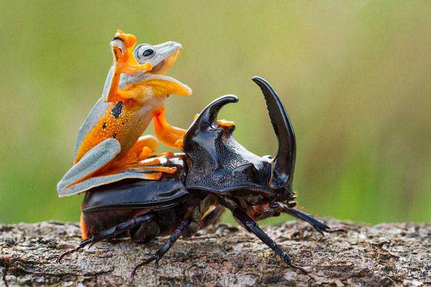 O menor rodeio do mundo / Foto : Hendy Lie