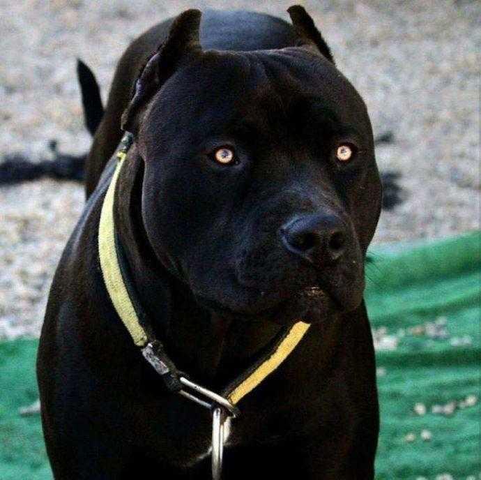 Pitbull - Pantera Negra / Foto : Divulgação