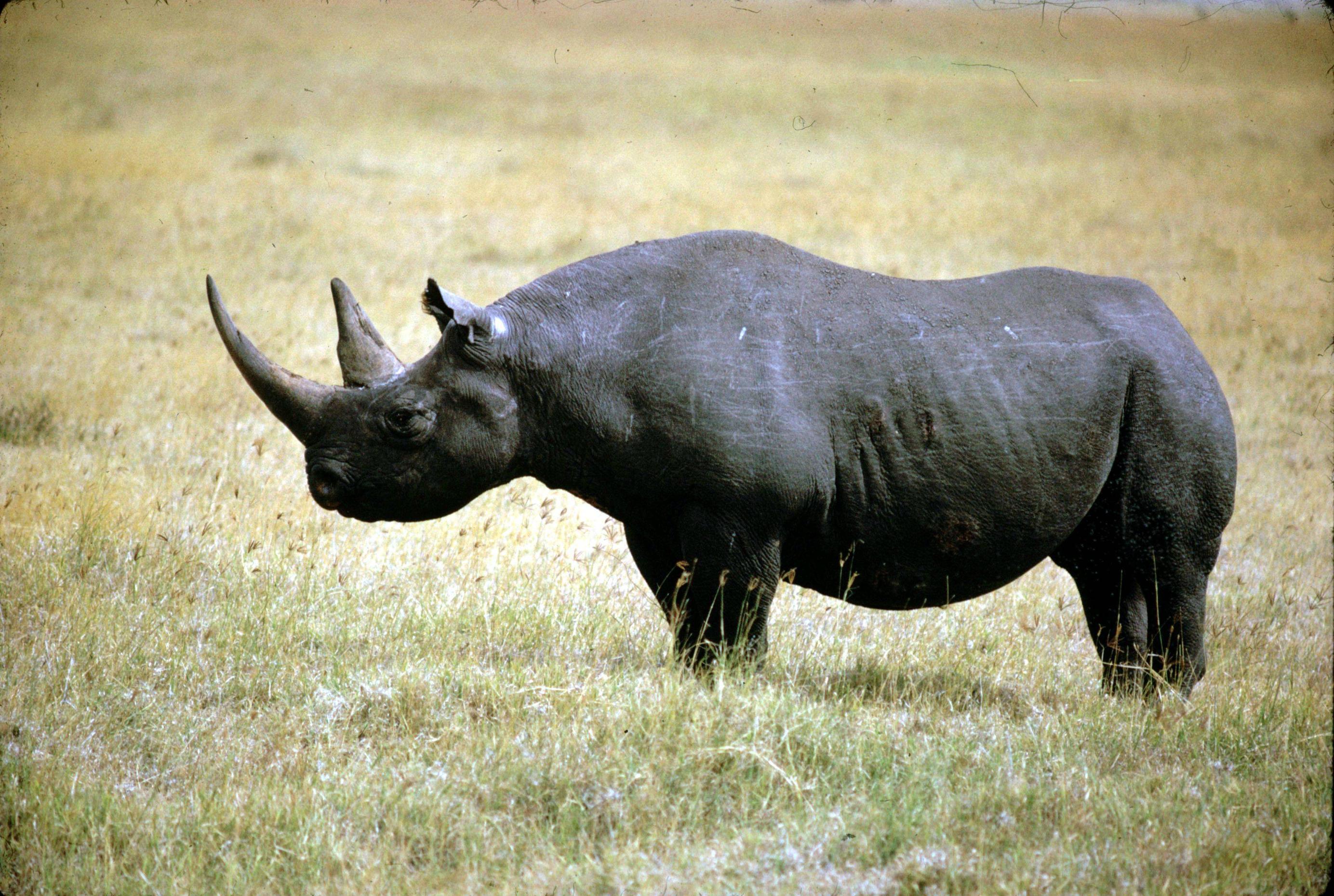 Rinoceronte negro ocidental é declarado extinto / Foto : Divulgação