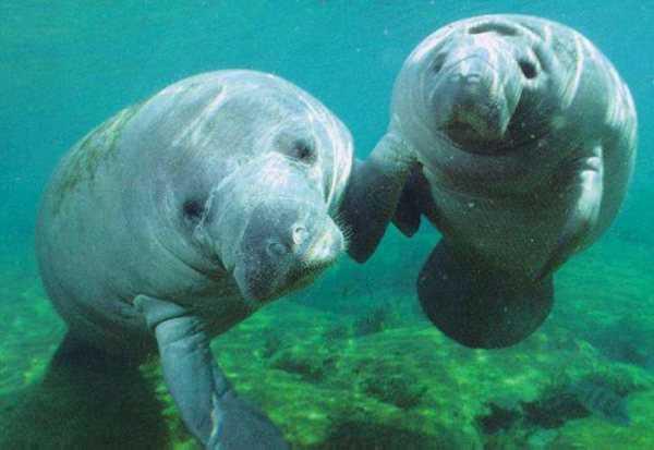 A melhor Páscoa: Peixes-bois voltam aos rios da Amazônia na maior de soltura da espécie - Imagem: Divulgação