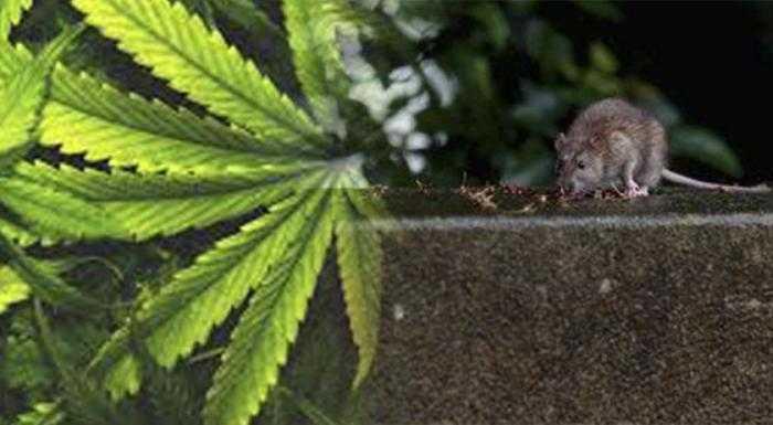 Uma investigação do Ministério de Segurança descobriu que se os ratos tivessem comido tanta droga, eles teriam morrido - Imagem: Divulgação