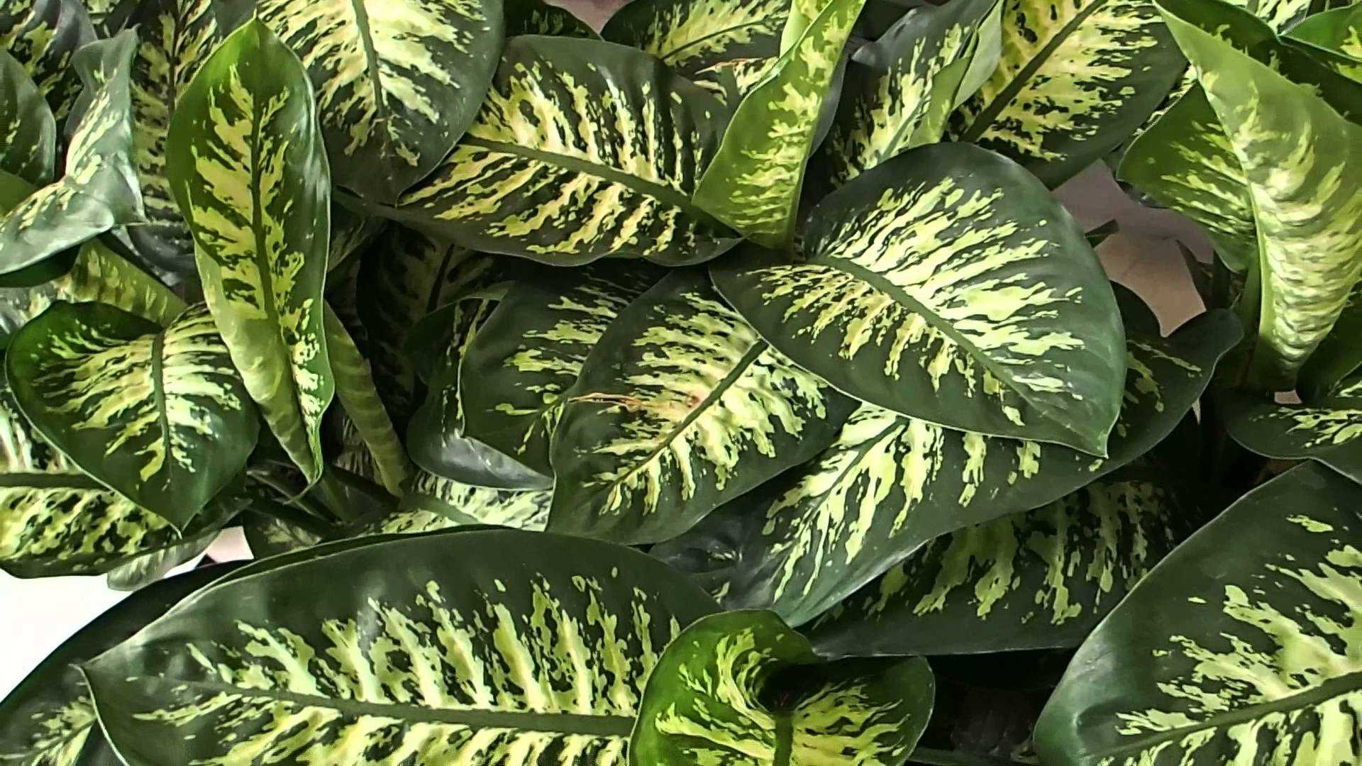 Comigo Ninguém Pode (Dieffenbachia amoena) - Herbáceas - Espécies de Plantas Bambus