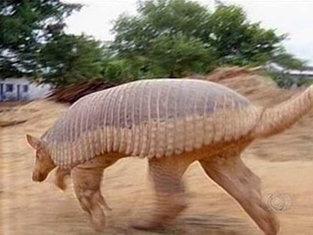 Tatu Canastra Gigante encontrado em Murupi - no Tocantins