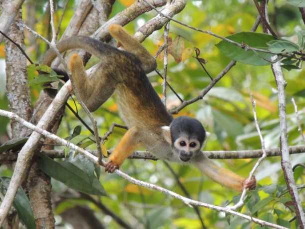 Macaco-de-cheiro-de-cabeça-preta (Saimiri vanzolinii)