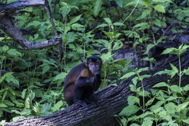 Macaco-prego (Sapajus macrocephalus)